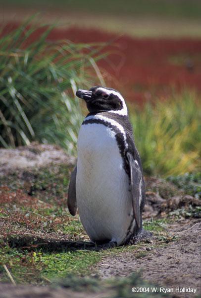 buona notte dans immagini buon...notte, giorno 34-falklands-carcass-magellanic-penguin