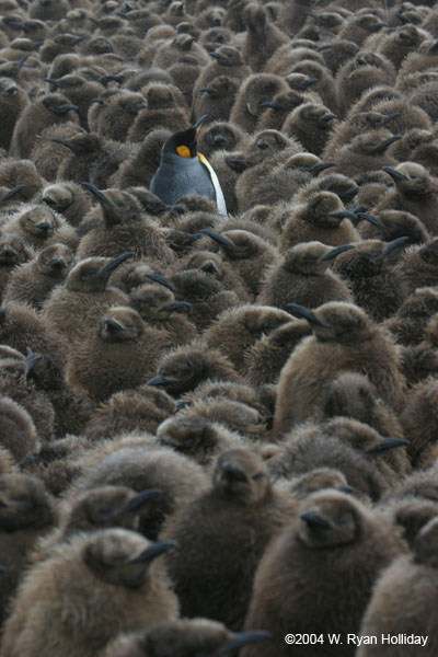 King Penguin Amidst Chicks