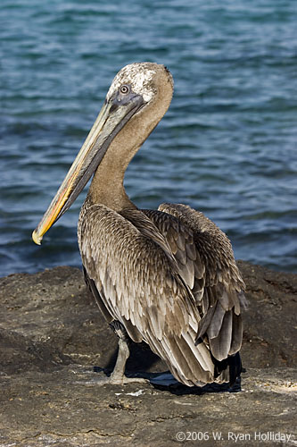 bonne nuit dans image bon nuit, jour, dimanche etc. 9144-south-plaza-pelican