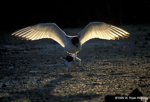 buona notte dans immagini buon...notte, giorno 28-tower-swallow-tail-gulls